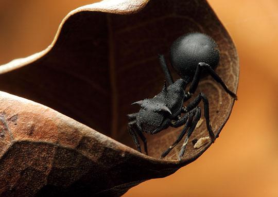 Aphantochilus rogersi Паук, Паукообразные, Удивительные насекомые, Интересное, Познавательно, Муравьи, Длиннопост