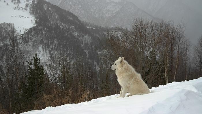 Одинокий волк.