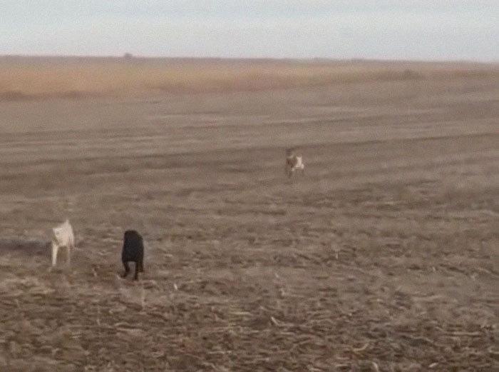 Сбежавшую собаку нашли гуляющей с козой Коза, Собака, История, Дружба, Видео, Длиннопост