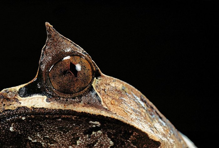 Megophrys nasuta: Принцесса-лягушка из ада. Рогатая чесночница, Земноводные, Биология, Зоология, Лягушка, Видео, Длиннопост