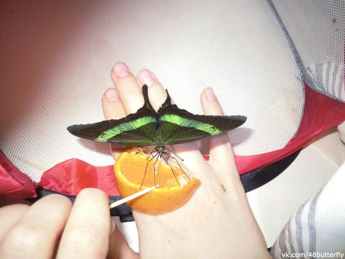 Кормление домашних тропических бабочек Бабочка, Энтомология, Природа, Животные, Насекомые, Видео, Длиннопост