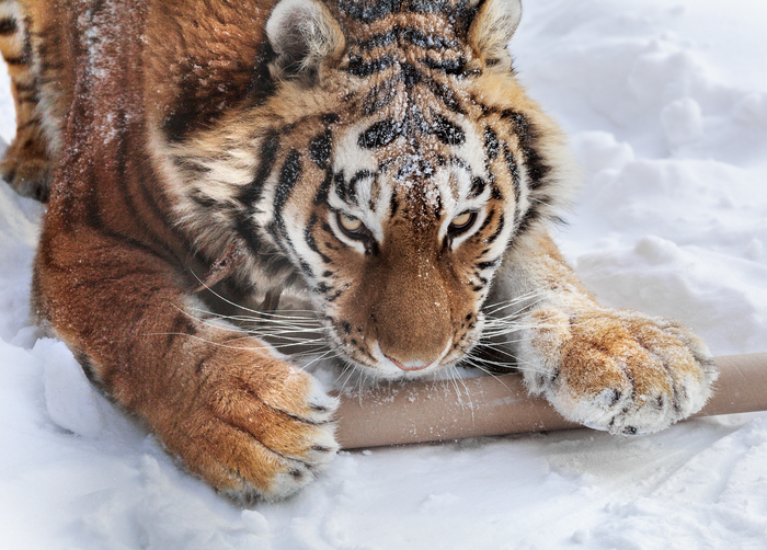 Это моё! The National Geographic, Фотография, Тигр, Кот, Снег