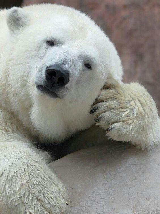 """""""Ну давай, расскажи мне"""" Фотография, Медведь, Белый медведь"""