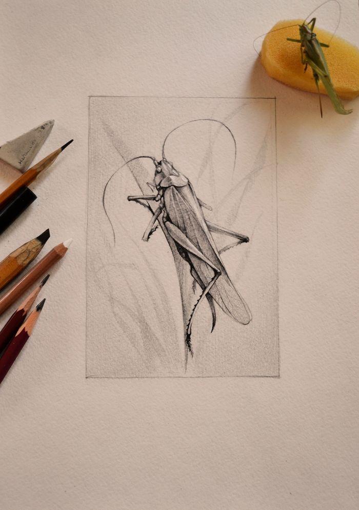 Зарисовки с натуры: бабочка и кузнечик Рисунок карандашом, Арт, Насекомые, Длиннопост, Бабочка, Кузнечик, Рисунок, Графика, Анималистика