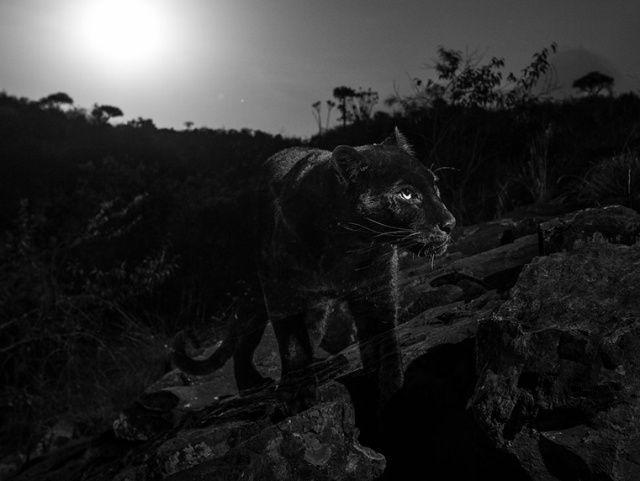 Впервые за 100 лет удалось заснять черного леопарда Длиннопост, Фотография, Природа, Интересное, Леопард, Кения, Черная пантера
