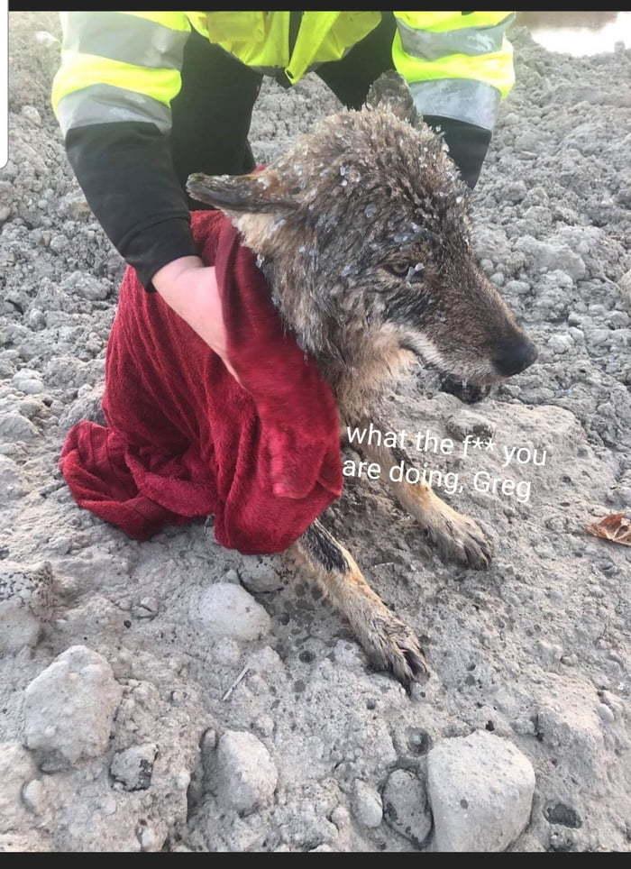 Мужчины спасли из ледяной реки собаку, которая оказалась волком Волк, Спасение, 9GAG