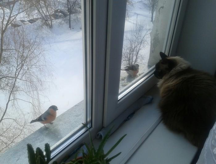 Кот Тиша и снегири Кот, Домашние животные, Окно, Птицы