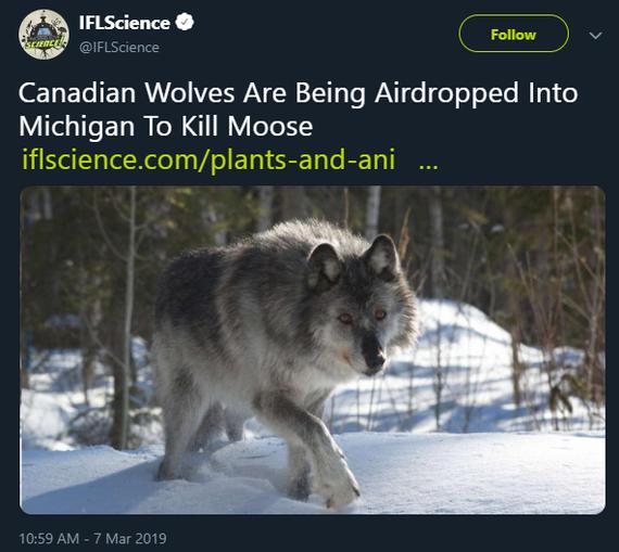 В Мичигане десантируютКанадских волков для убийства лосей Канада, Волк, Лось, Новости