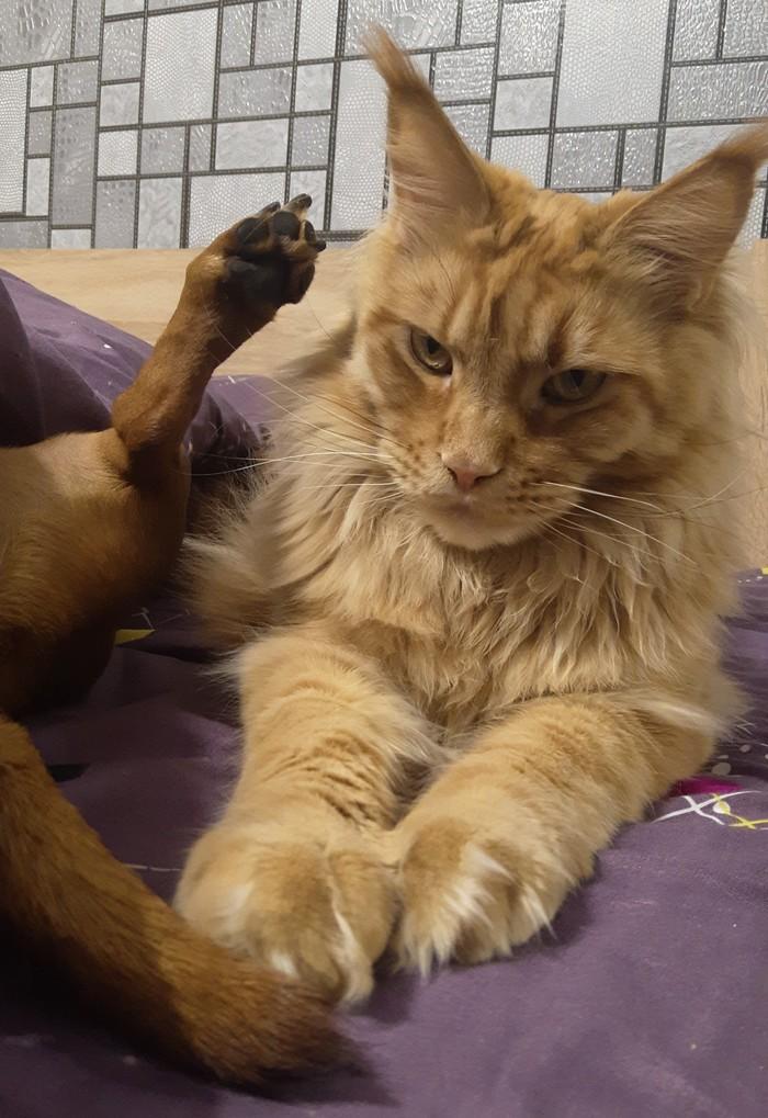 Лапы хоть бы помыла Такса, Мейн-Кун, Кот, Собака, Собаки против кошек, Длиннопост, Домашние животные