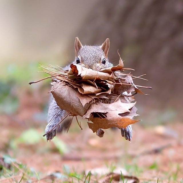 Полёт нормальный Фотография, Животные, Белка, Осенние листья, Прыжок