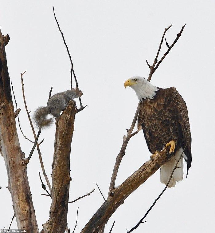 Белка дразнит орлана Белка, Орел, В мире животных, Длиннопост, Животные, Дикие животные, Птицы, Хищные птицы, Фотография