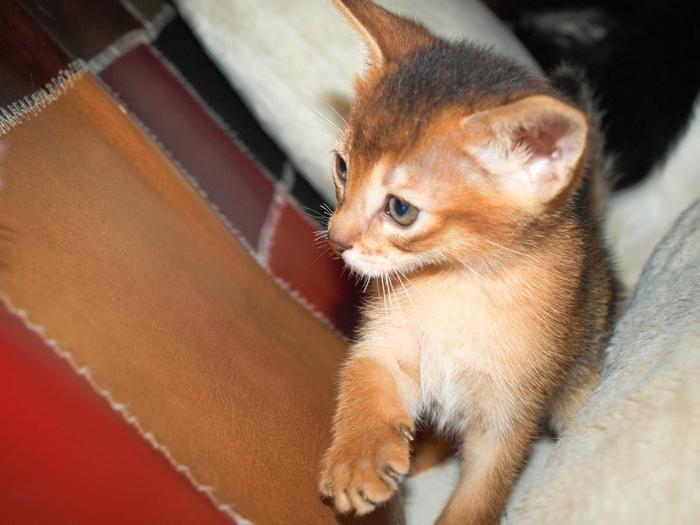 Абизянок в ленту Абиссинская кошка, Кот, Питомник, Котята, Дикий, Соррель, Длиннопост, Домашние животные