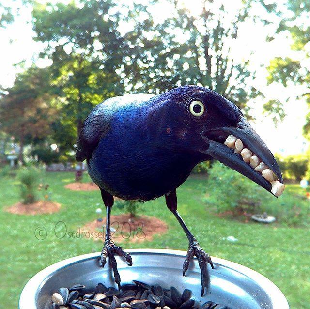 Жадная птичкагракл