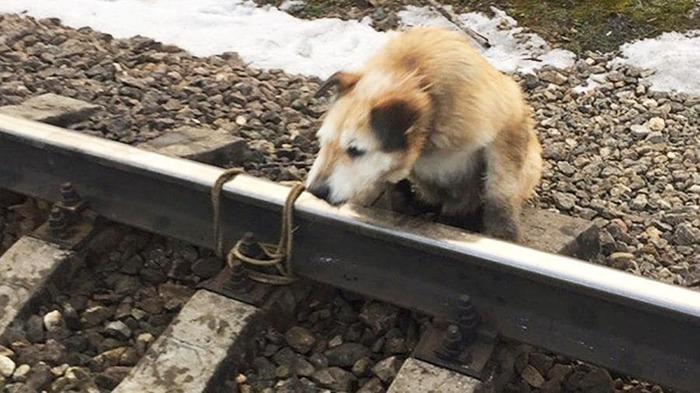 Машиниста, спасшего привязанного к рельсам пса, наградят Догхантеры, Живодеры, Собака
