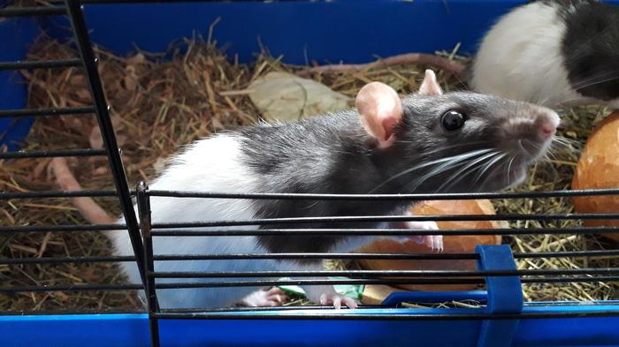 На праздник всем по булочке! Декоративные крысы, Домашние животные, Праздники, Длиннопост, Крыса