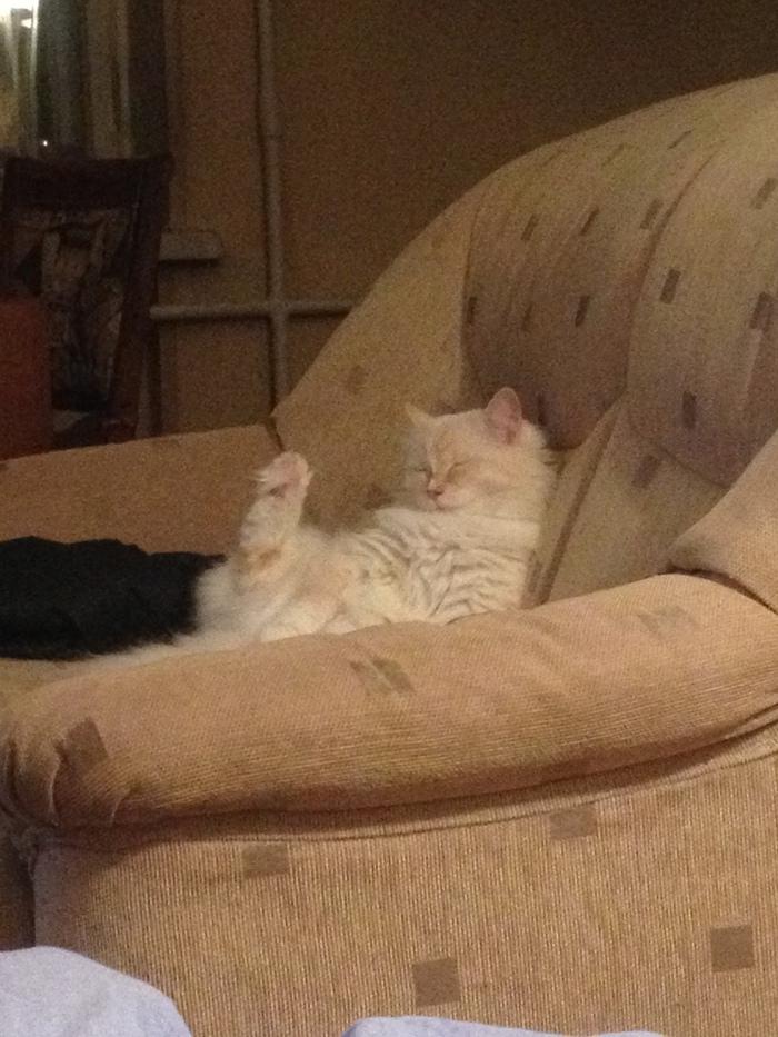 Сонная хоба Кот, Хоба, Длиннопост, Домашние животные