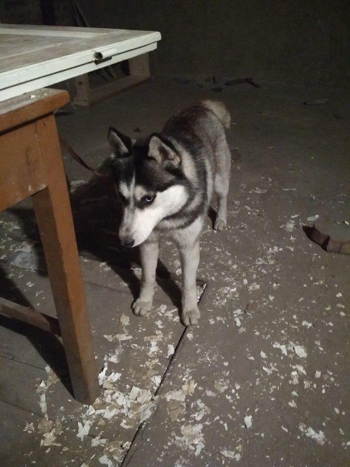 Найдена собака Самбор Найден хаски, Хаски, Собака, Ищу хозяина, Без рейтинга, Украина, Самбор, Потеряшка