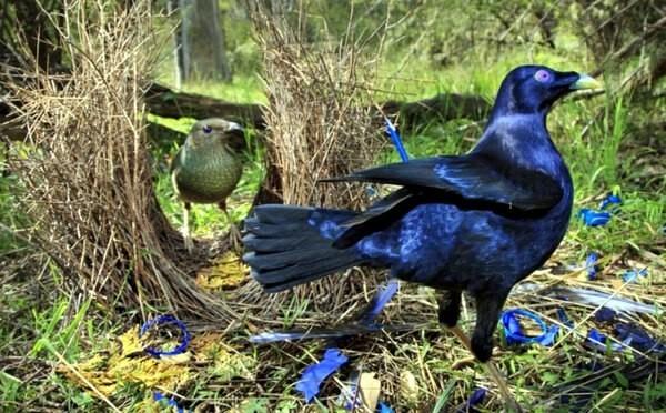 Шалашник - потрясающий любовник, дизайнер и пакостник) Животные, Птицы, Природа, Дикая природа, Джунгли, Видео, Длиннопост