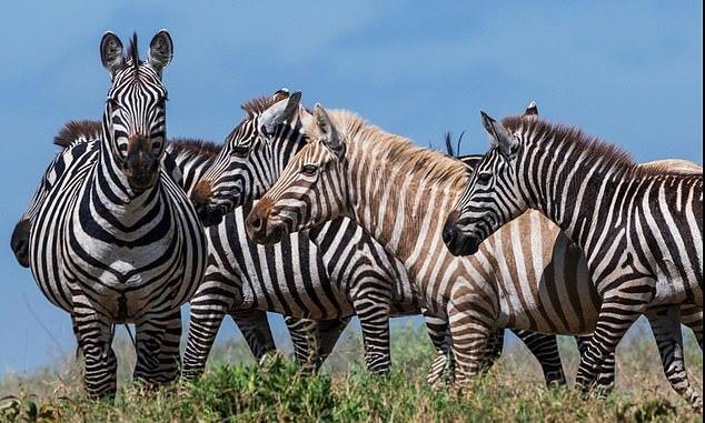 Редкую зебру-альбиноса удалось сфотографировать в дикой природе Зебра, Альбиносы, Заповедник, Животные, Дикая природа