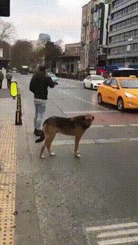 Соблюдая ПДД... Собака, Пешеходный переход, Красный свет, Длинногиф, Гифка
