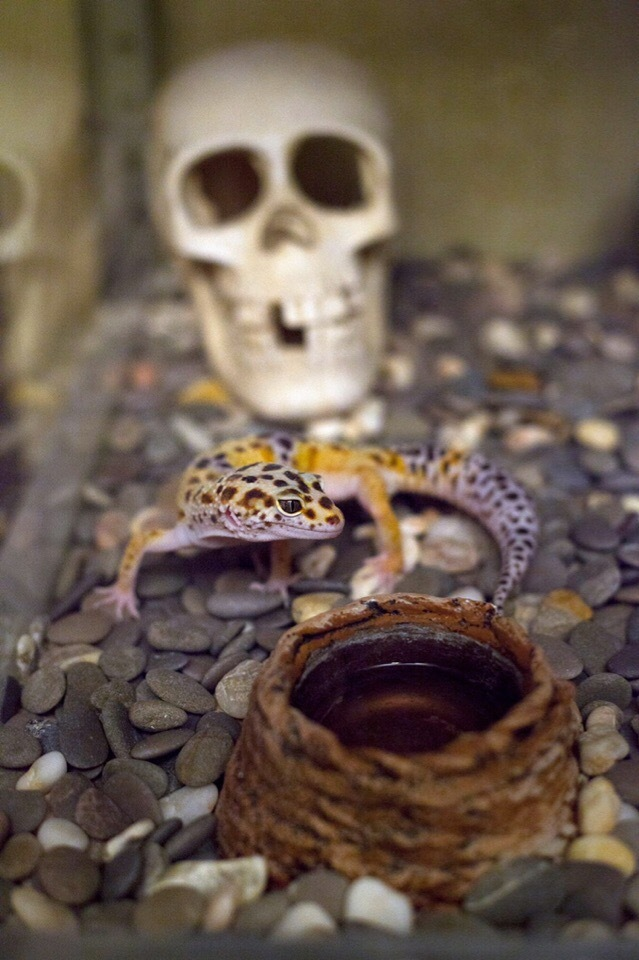 Мои малявки Террариумистика, Хобб, Фотография, Эублефар, Леопардовый геккон, Геккон, Ящерица, Длиннопост