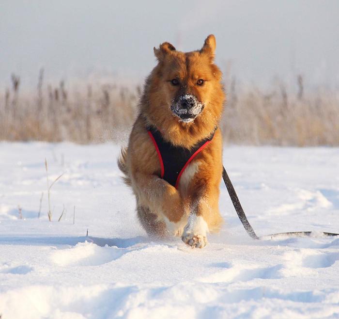 Собака, когда-то потеряка, ищет хозяина (МО) Собака, Приют для животных, В добрые руки, Московская область, Без рейтинга, Голицыно, Длиннопост