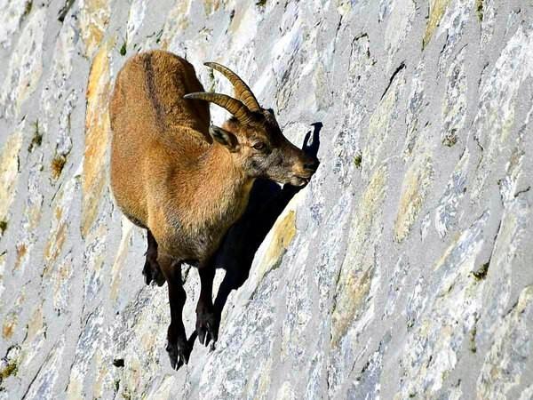 Ибексы или альпийские горные козлы - скалолазы Анималия, Животные, Фауна, Природа, Ибекс, Горные козлы, Млекопитающие, Видео, Длиннопост