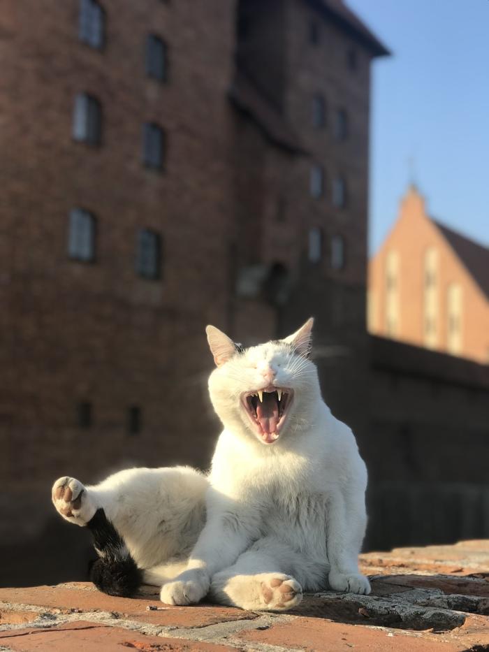 Достопримечательность! Замок, Польша, Мальборк, Кот, Фотография, Достопримечательности, Животные, Момент