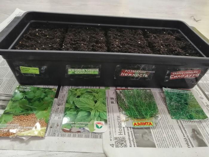 Как я посадил минисад первый раз) самый сильный стал базилик, скоро пересаживаю, кажется что от других растений забирает питательную влагу. Комнатные растения, Домашнее