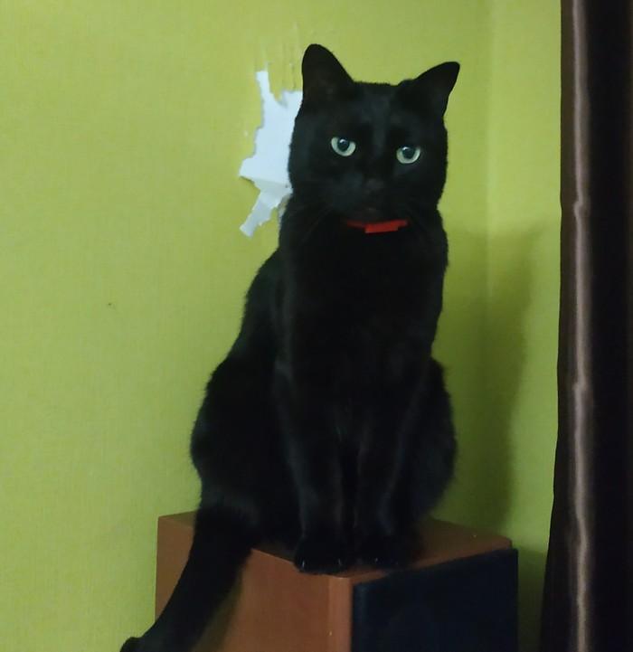 Обои и Ночка Черный кот, Обои, Кот, Домашние животные