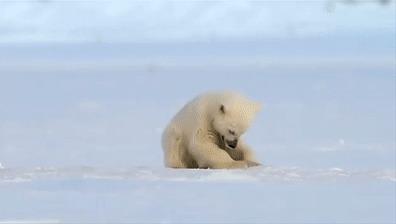 Тюлень случайно напугал белого медведя