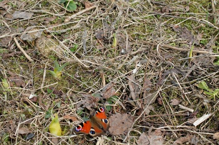 Вот такой апрель Фотография, Canon, Весна, Природа, Бабочка, Снег, Насекомые, Начинающий фотограф