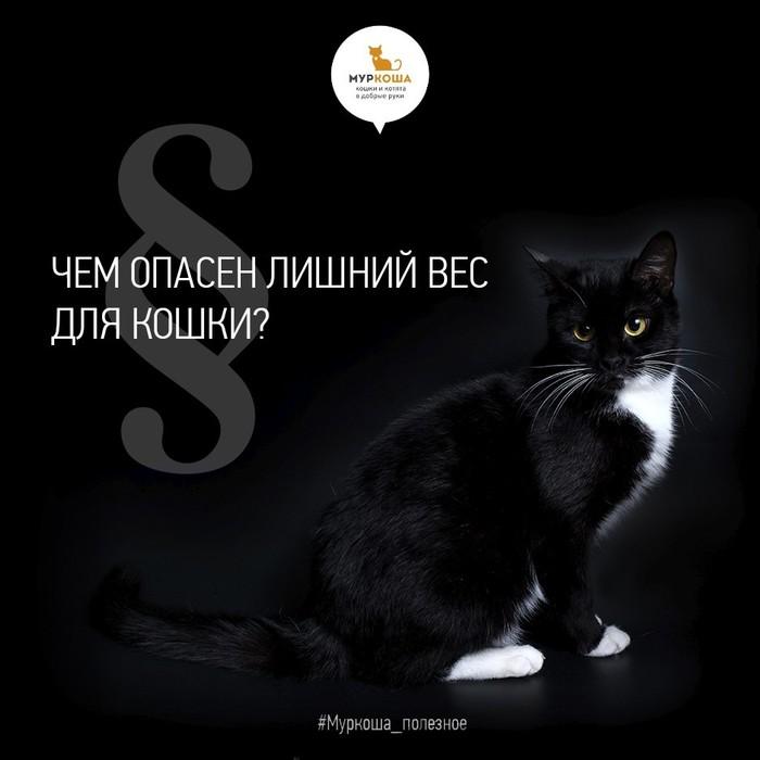 Полный котец – чем опасен лишний вес для вашей кошки. Полезное, Кот, Приют муркоша, Муркоша, Длиннопост