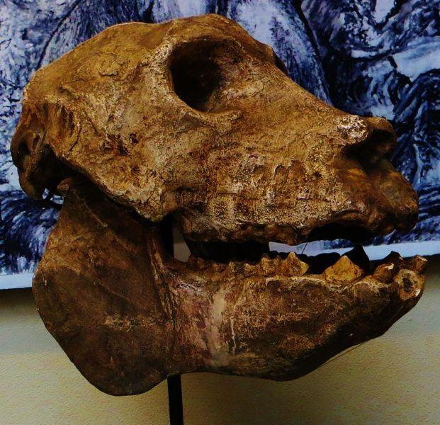 Археоиндри Палеонтология, Млекопитающие, Лемур, Кайнозой, Длиннопост