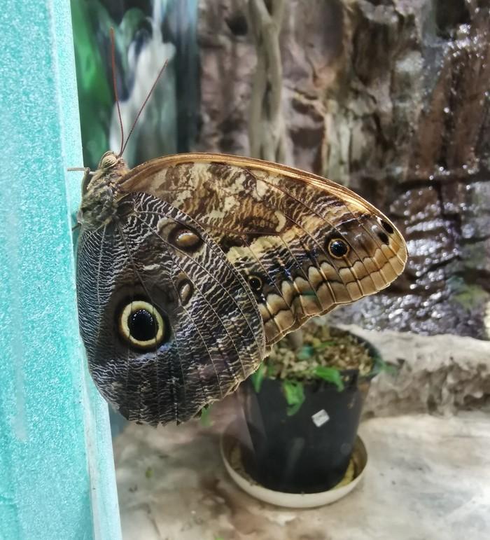 Совиная бабочка Насекомые, Бабочка