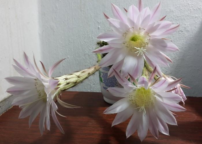 Первое цветение трехлетнего кактуса) Кактус, Комнатные растения, Прогрессивное растениеводство, Эхинопсис, Длиннопост