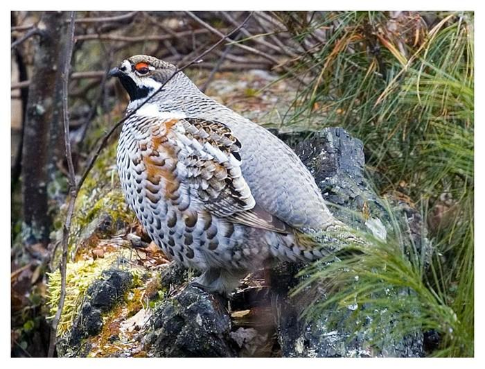 Дичь в естественной среде обитания Дичь, Наблюдение за птицами, Фотография