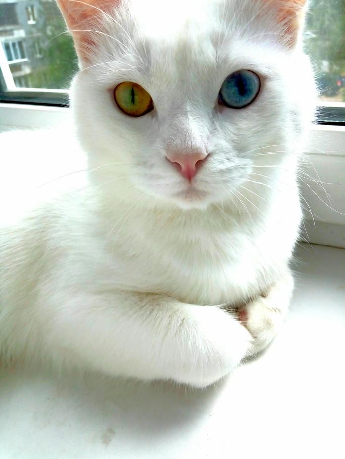 Тоже хочу похвастаться моими котейками ) Кот, Котомафия, Домашние животные, Длиннопост, Гетерохромия
