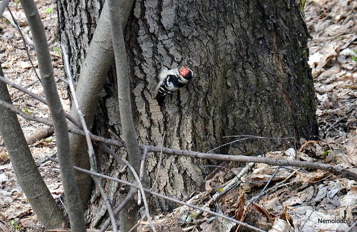 Малый пестрый дятел Начинающий фотограф, Дятлы, Птицы, Длиннопост, Природа