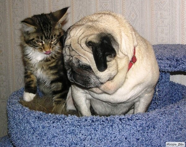 Собака и Кот. Кот, Собака, Мопс, Длиннопост, Домашние животные