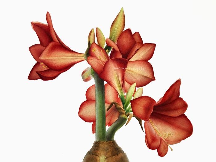 Амариллис, акварель Ботаническая иллюстрация, Акварель, Рисунок, Арт, Реализм, Цветы, Амариллис