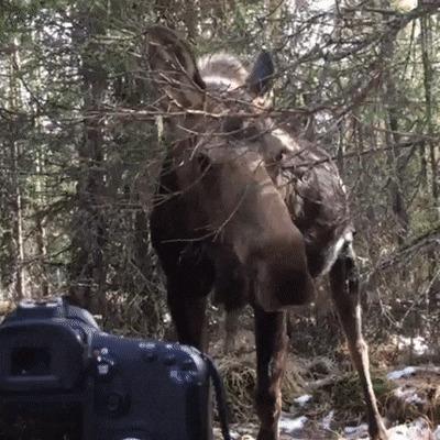 Лось и фотограф дикой природы