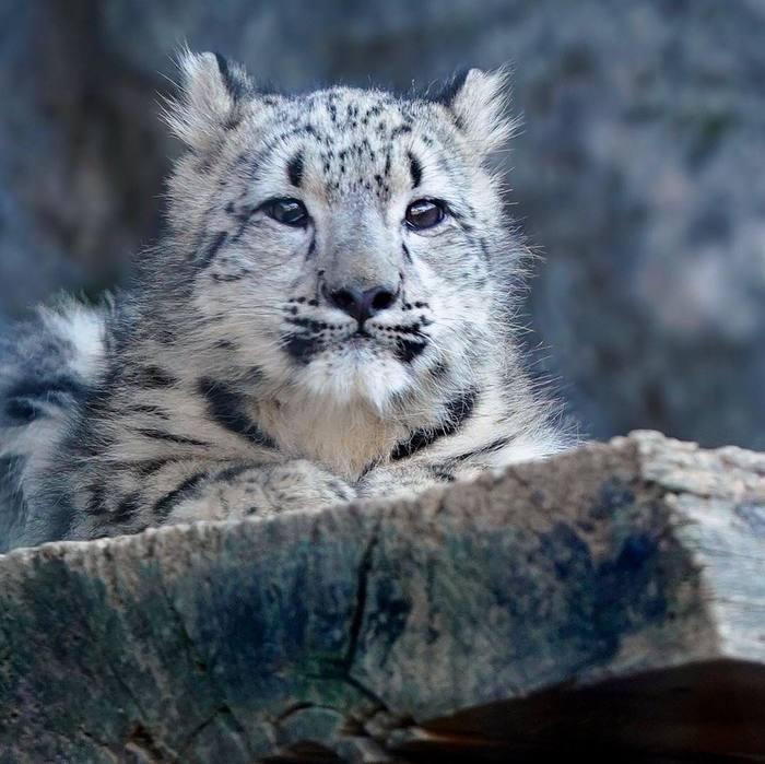 Малыш Снежный барс, Кот, Детеныш, Милота, Зоопарк, Длиннопост