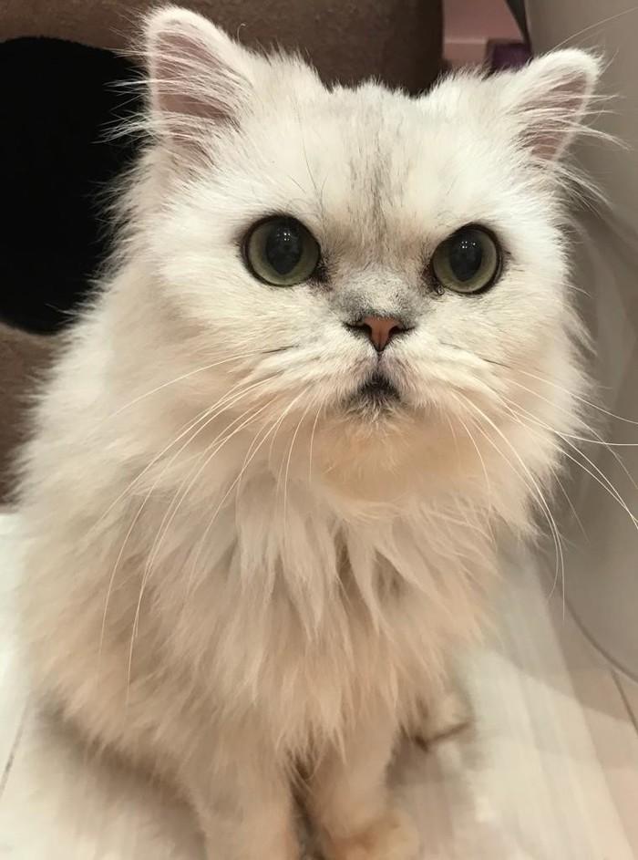 Персидская кошечка в добрые руки! Кот, Москва, В добрые руки, Ищу дом, Длиннопост, Без рейтинга, Персидский кот, Помощь животным