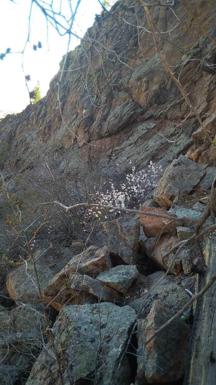Меркитская крепость и цветение абрикоса Абрикос, Цветение, Красота, Длиннопост