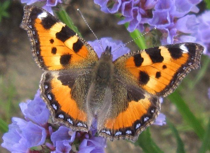 Самая весенняя бабочка Бабочка крапивница, Забайкалье, Природа, Длиннопост
