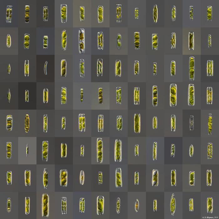 Диатомовые водоросли Микроскоп, Водоросли, Диатомовые водоросли