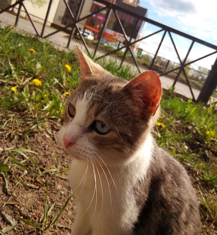 Разноглазик :) Кот, Гетерохромия, Фотография, Длиннопост