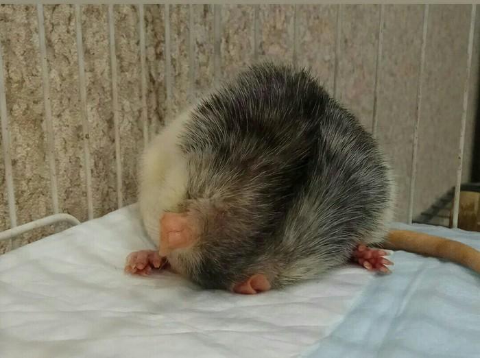 Крысойога Крыса, Декоративные крысы, Питомец