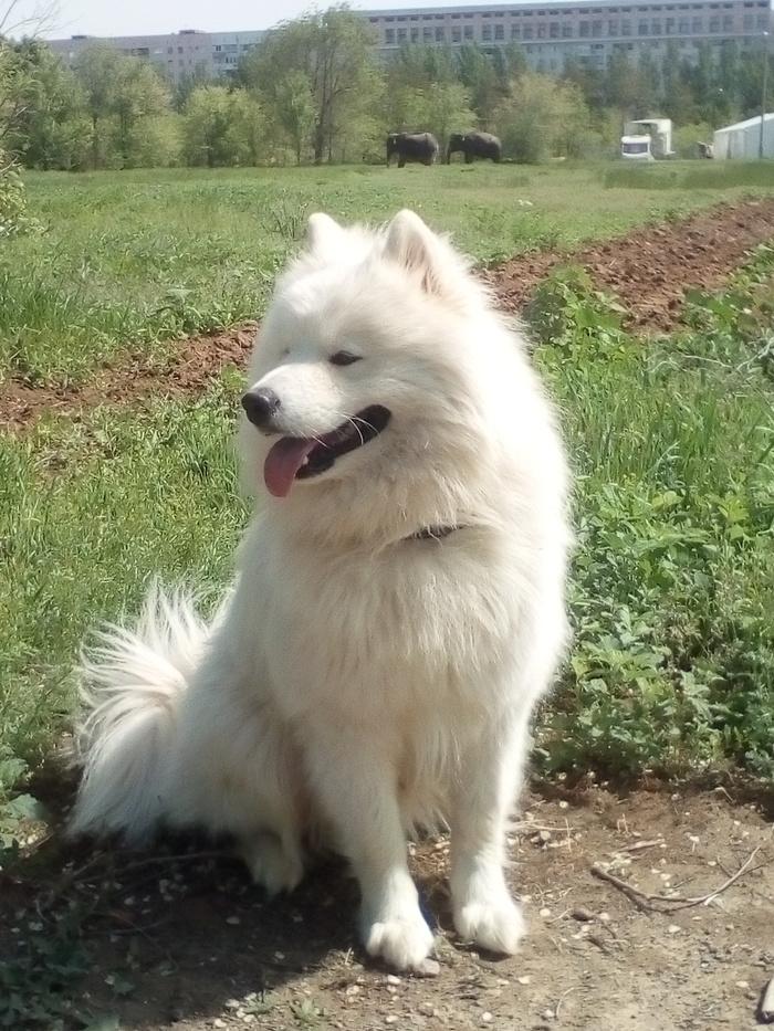 Выгул без поводка :) Собака Север, Самоед, Собака, Домашние животные, Волжский, Длиннопост